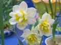 水仙花与家居环境的搭配