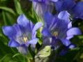 人工种植龙胆草