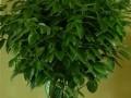平安树的养殖方法 平安树叶子发黄的解决措施