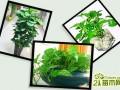水培绿萝图片欣赏