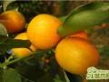 金桔的功效与作用,金桔的营养价值剖析