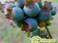盆栽蓝莓树苗多少钱