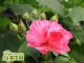 盆栽木芙蓉的养殖养护方法
