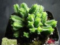 方鳞绿塔Crassula pyramidalis Thunb.Y