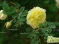 灌木种类有哪些 灌木植物图片大全介绍