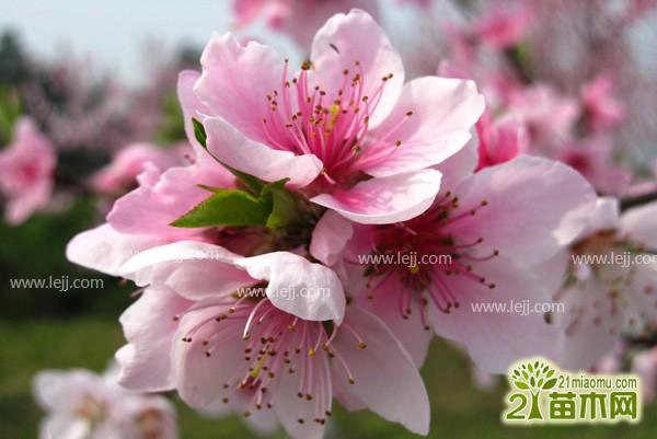 桃树种植方法,如何种植桃树