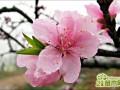 桃树种植方法,如何种植桃树?