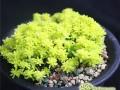 黄金万年草怎么繁殖  黄金万年草的繁殖方法及注意事项