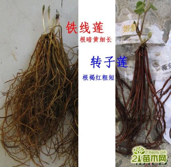 转子莲和铁线莲的叶子有区别图片图片