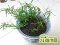 春夏季盆栽迷迭香小苗这样养护,秋季就能爆盆成老桩