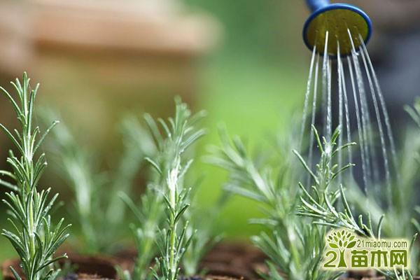 阳台种菜怎么浇水_阳台种菜浇水方法_阳台种菜多长时间浇水
