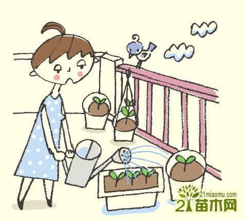 阳台种菜什么时候浇水图片