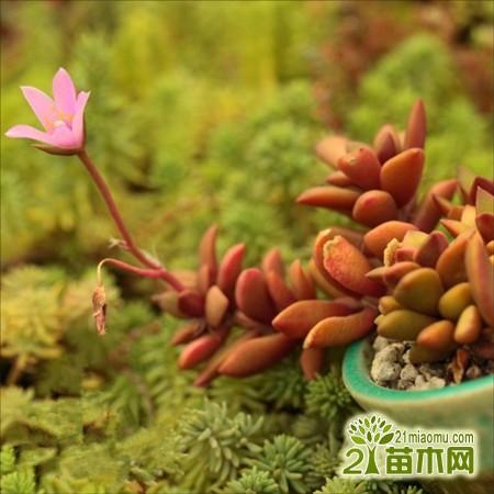 春梦殿锦几天浇一次水图片