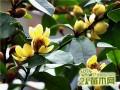 含笑花常见四大病虫害及其防治方法