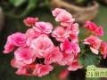 盆栽玻璃海棠的五大养护关键必知