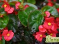 玻璃海棠花色鲜艳的养护方法  玻璃海棠夏季养殖技巧