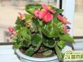 玻璃翠叶子可以繁殖吗?玻璃翠的繁殖方法