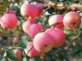 苹果幼树怎么修剪  苹果幼树的修剪技术