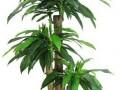 因病害导致的巴西木叶子发黄问题怎么办