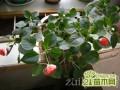 玻璃翠的家庭栽培方法如何