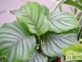 青苹果竹芋的养护要点及主要作用介绍