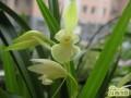 兰花花蕾如何养护不枯死