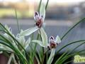 普通兰花怎么种养  普通兰花的家庭养殖方法