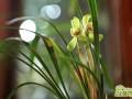 兰花十月如何养护  十月兰花养护要点