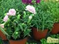 盆栽康乃馨播种怎么养殖