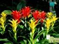凤梨花的繁殖方法  凤梨花养护注意要点