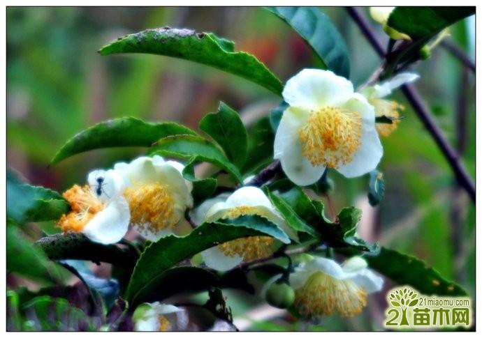 茶树 茶树花 茶花 花茶一种植物吗 区别介绍 爱花网