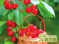 樱花树和樱桃树有关系吗?  樱花树和樱桃树的区别