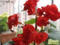 玻璃海棠花开花怎么养  玻璃海棠花养殖要注意什么