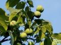 核桃树怎么浇水  核桃树不同生长阶段的浇水方法