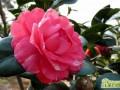 山茶花春天怎么养  山茶花的春季养护管理技巧