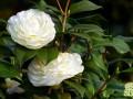 山茶花的盆栽养殖要点须知