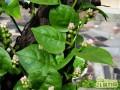 适合阳台盆栽且容易种的蔬菜有哪些
