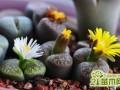 生石花的发芽养护技巧   生石花发芽后怎么移苗