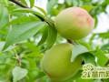 桃树的修剪方法与注意事项  桃树什么时候剪枝最好