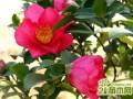 盆栽山茶花的种植方法和养护管理要点