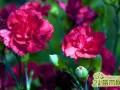 康乃馨栽培种植攻略  康乃馨怎么养殖最好