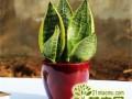 家庭盆栽虎皮兰如何养护   虎皮兰的养殖要点须知