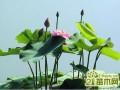 碗莲的养殖方法  碗莲的种植方法和栽培技巧图解