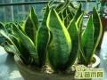 虎皮兰为什么长不高  虎皮兰的养殖养护方法