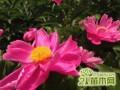 芍药花什么时候移栽好   芍药花种植最佳时间和注意事项