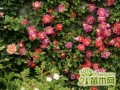 月季多开花的养殖小窍门  月季花什么时候剪枝最好