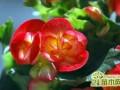 玻璃海棠怎么养    玻璃海棠的养殖方法和注意事项