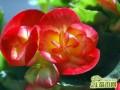 玻璃海棠盆栽的九大养殖方法和注意事项