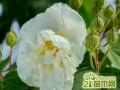 芙蓉花叶子生病怎么办  木芙蓉的病虫害及其防治方法