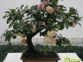 苹果盆景怎么栽培种植?苹果盆景的四季养护方法